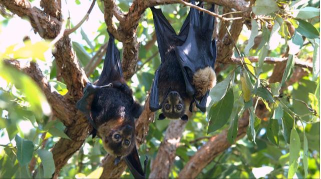 pipistrelli caldo australia