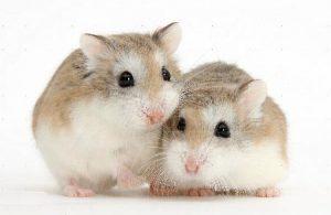 topi-coppia
