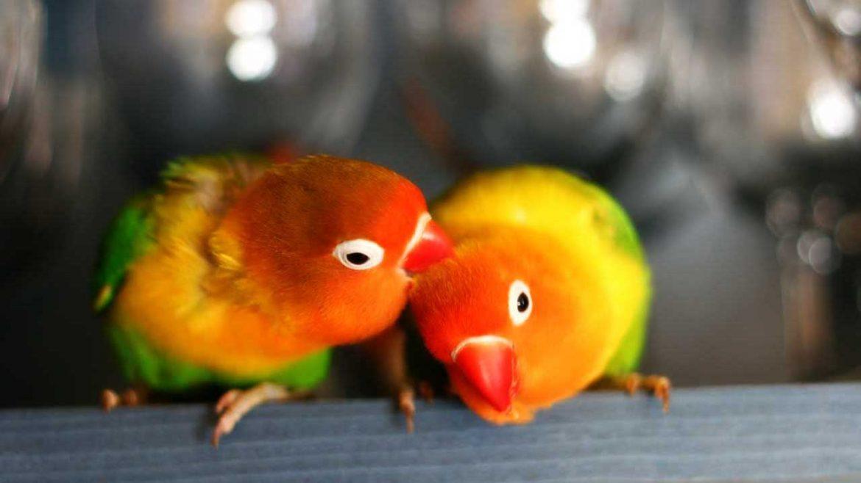 uccelli-monogamia-pappagalli