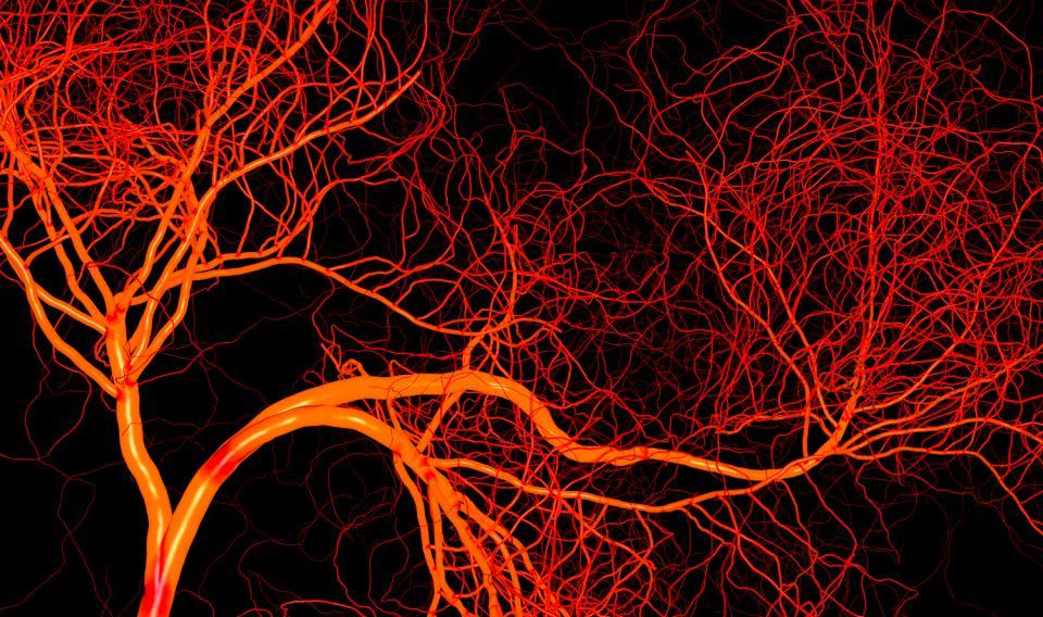 vasi-sanguigni-umani