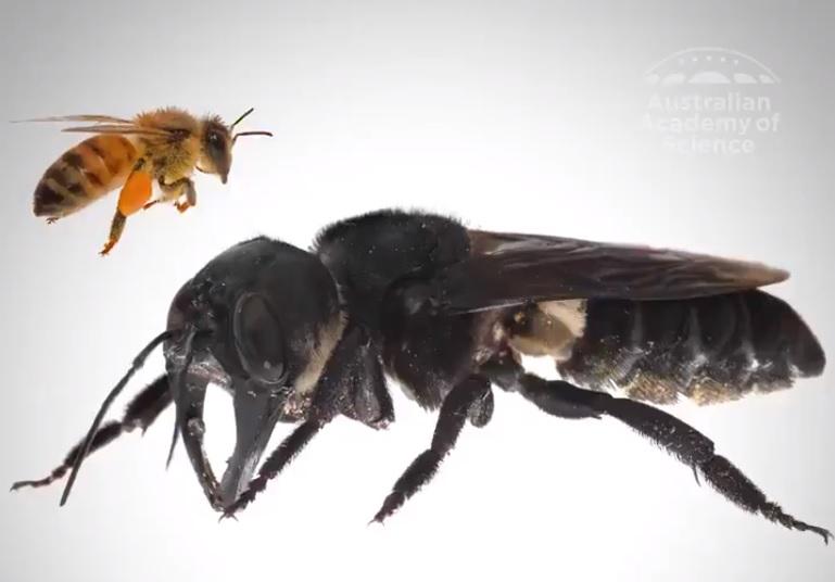 ape gigante di Wallace