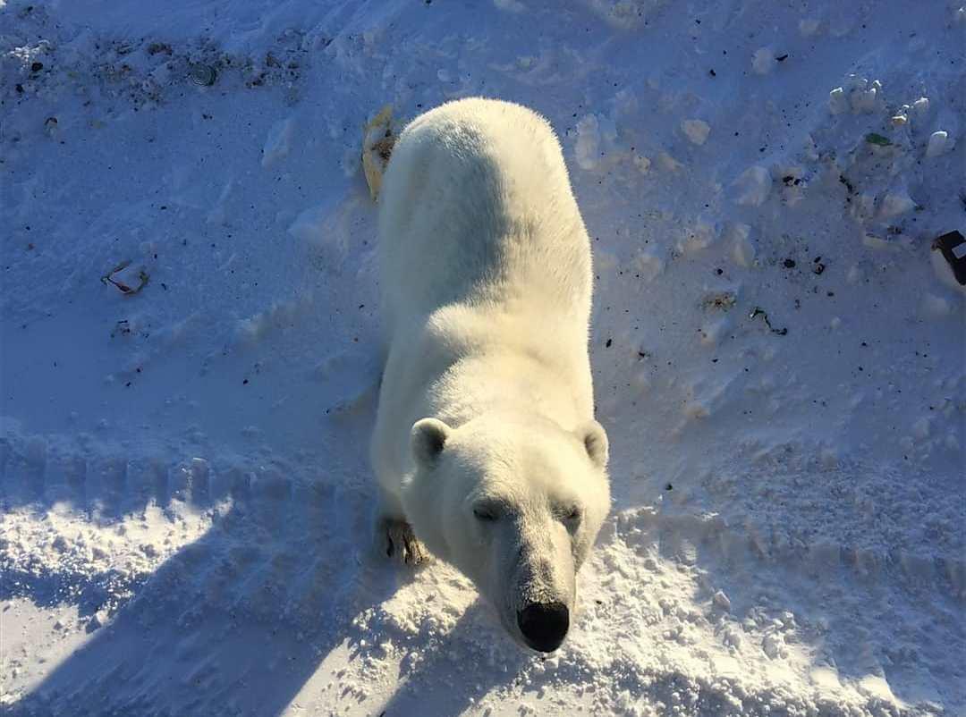 Orsi polari invadono villaggio russo: gli abitanti li sfamano