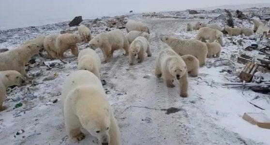 invasione orsi polari russia
