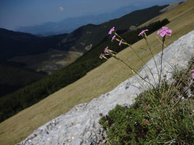 Dianthus brachycalyx: specie segnalata per le più alte quote dell'Appennino, dal Lazio alla Calabria. Appartiene a un gruppo di specie affini che conta ben 18, fra specie e sottospecie, endemiche italiane