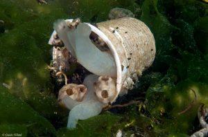 La medusa finita nel bicchiere - foto Guido Villani