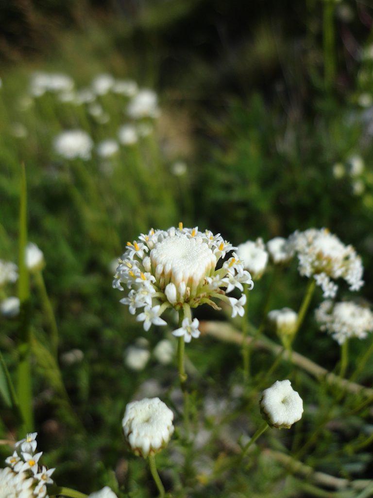 Santolina pinnata: specie endemica delle Alpi Apuane in Toscana, appartenente a un gruppo di specie affini che conta 6 specie endemiche italiane