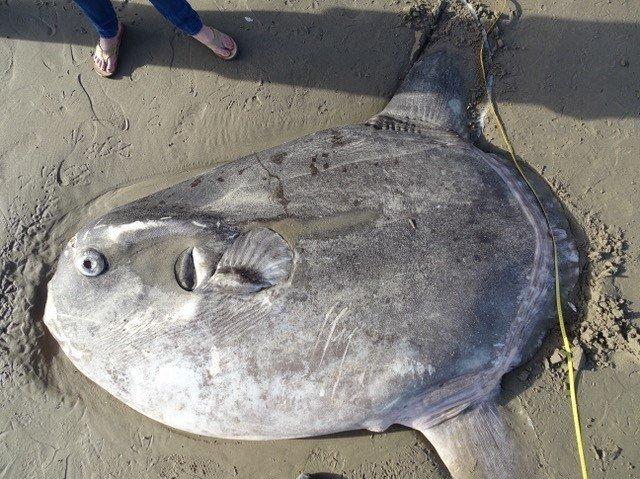 Pesce luna hoodwinker