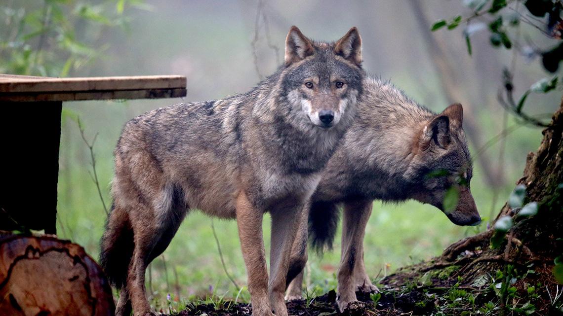 lupo lupi