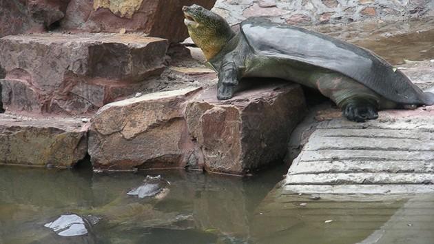 tartaruga gigante Yangtze