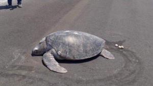 tartaruga maldive