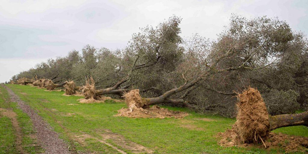 Xylella fastidiosa abbattimento alberi