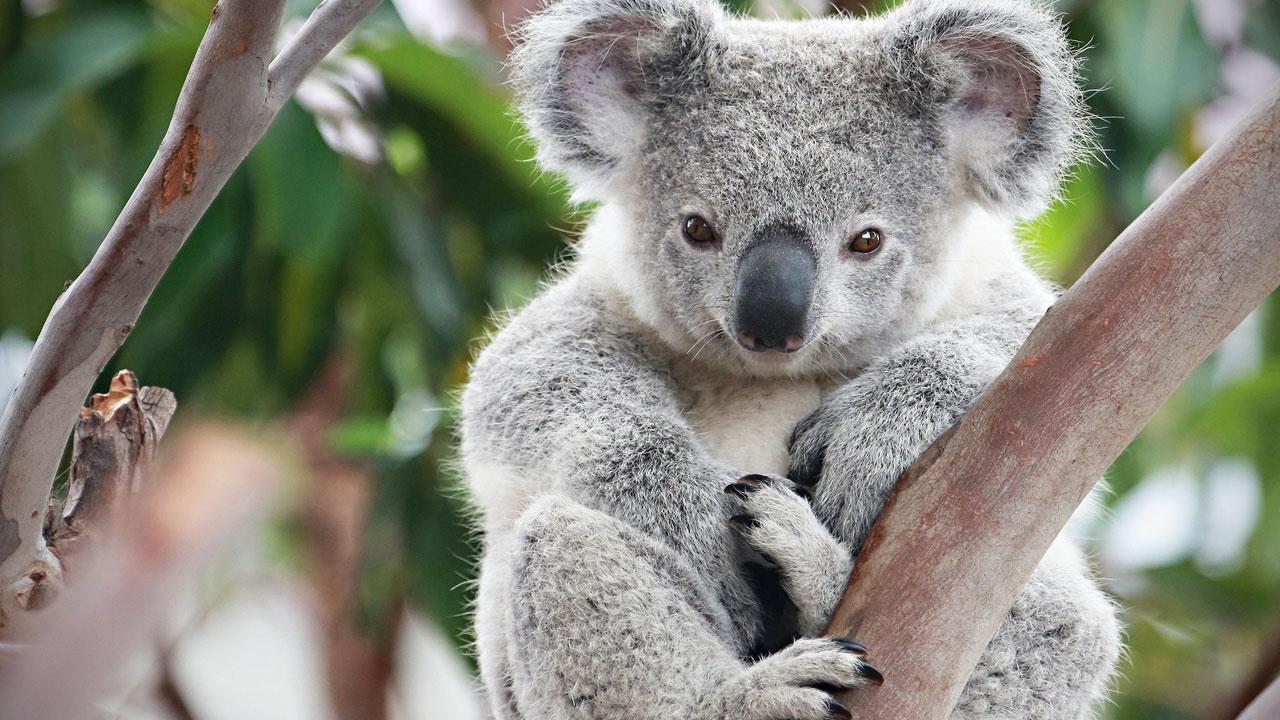 Australia, morto il koala strappato dalle fiamme: