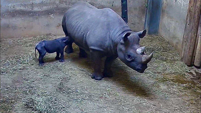 rinoceronte nero Chicago