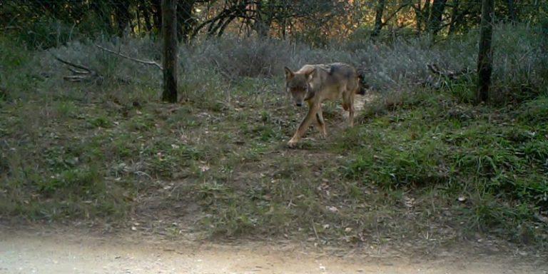 Fermo immagine di lupo tratta da video fototrappola