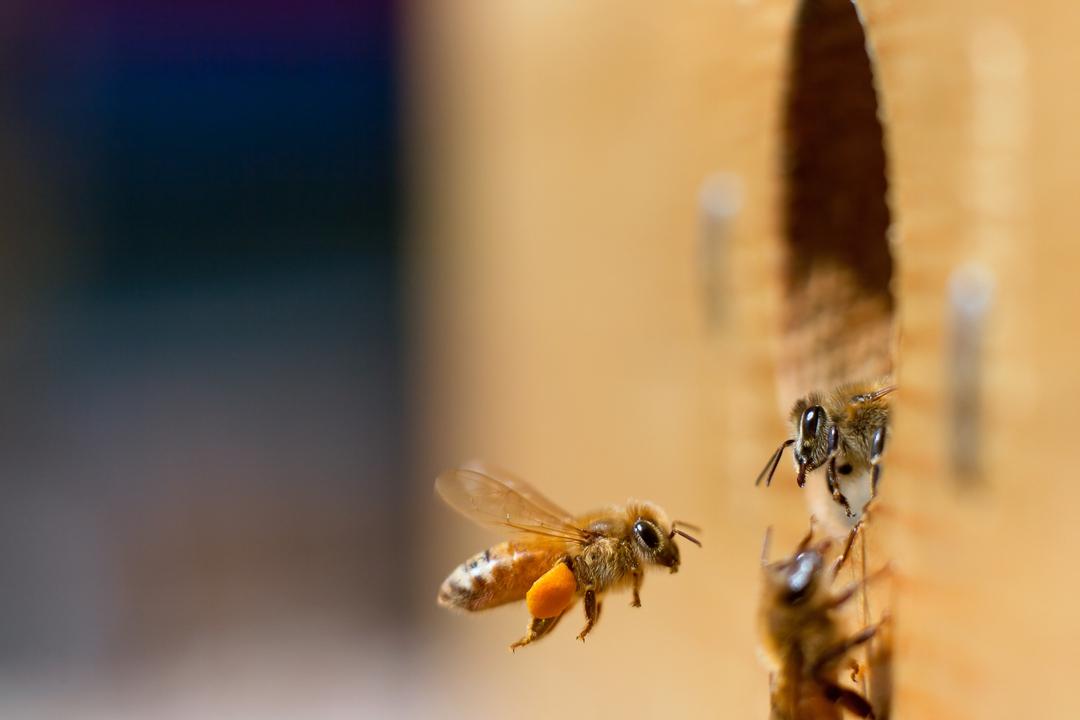 ape api insetto insetti