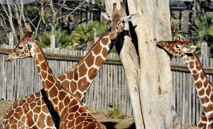 giraffe bioparco di Roma