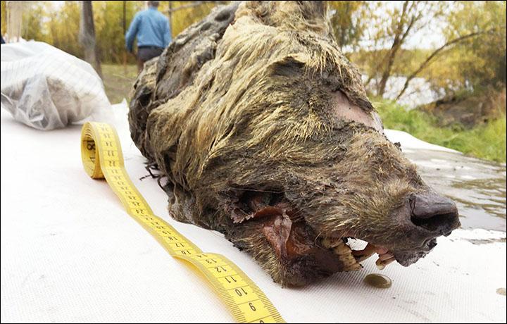 Un enorme testa di lupo spunta sotto i ghiacci della Siberia
