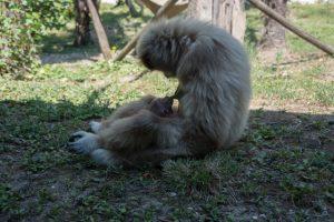 Gibbone Parco Zoo Farconara