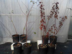 Prunus a foglie rosse e verdi