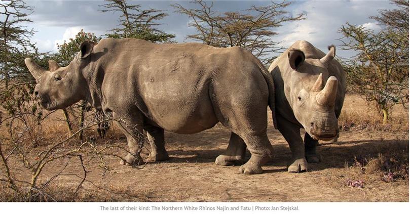 Rinoceronti Bianchi Del Nord