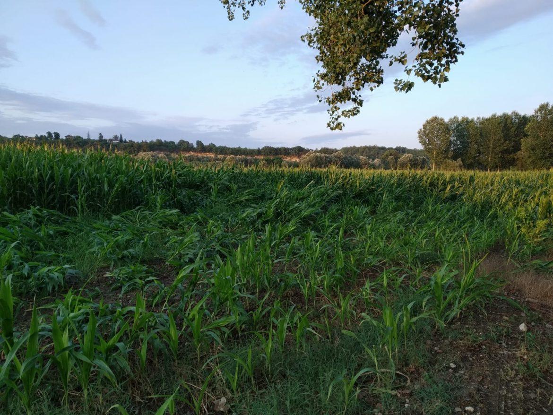"""Una piantagione di mais a Castello di Annone danneggiata dal nubifragio e dalla presenza della """"Diabrotica"""""""