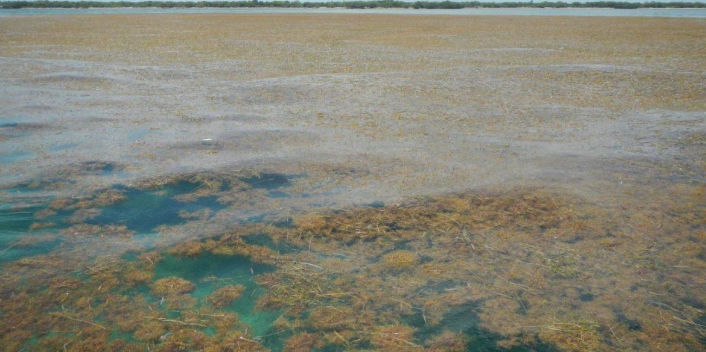 alghe caraibi