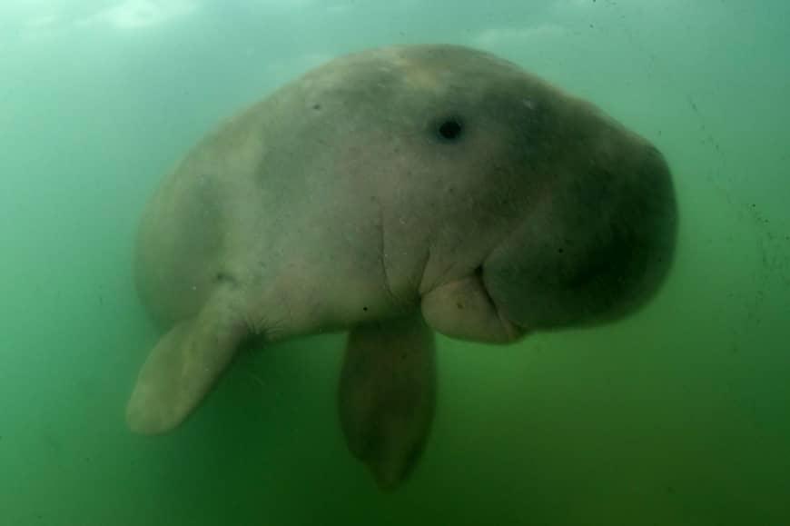 Addio a Mariam, la baby dugongo celebre in Thailandia
