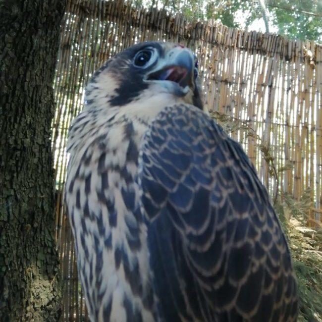 falco pellegrino partenope