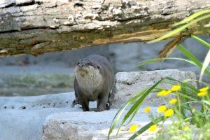 lontra bioparco roma