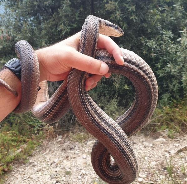 serpente sila
