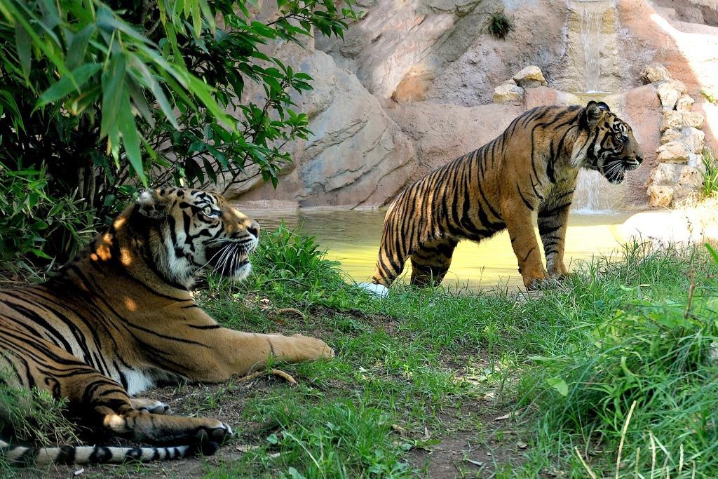 tigri bioparco roma
