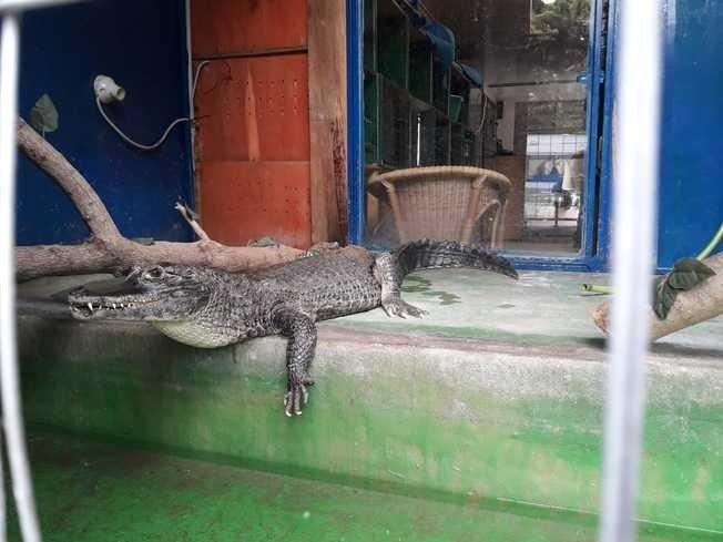 Ritrovato il caimano scomparso da un circo in Sardegna