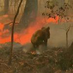 """Australia, gli incendi decimano i koala: donna corre tra le fiamme per salvarne uno, """"urlava e piangeva"""" [FOTO e VIDEO]"""