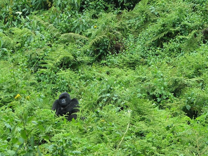 gorilla di montagna WWF