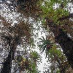 """Incendi in Australia: una missione segreta per salvare 200 pini """"preistorici"""" [FOTO]"""