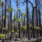 """Incendi Australia, l'allarme degli ambientalisti per le foreste decimate dalle fiamme ma il """"bush"""" è """"fatto per bruciare"""" e sta già ricrescendo [FOTO]"""