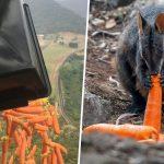 Incendi Australia, migliaia di chili di verdure fresche lanciate dagli aerei in soccorso degli animali in difficoltà [FOTO]