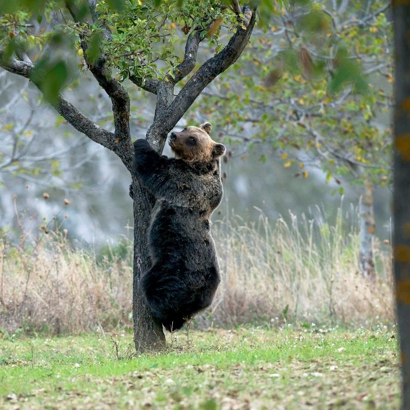 orso laccio