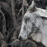Filippine, segni di vita nella devastazione provocata dall'eruzione del vulcano Taal: salvati alcuni animali dall'isola di Luzon [FOTO]