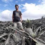 Filippine, ananas grigi dopo l'eruzione del vulcano Taal: effetti disastrosi sull'agricoltura [FOTO]