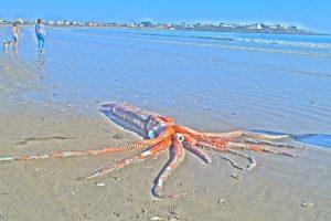 calamaro gigante Sudafrica