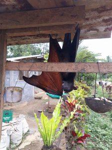 filippine pipistrello
