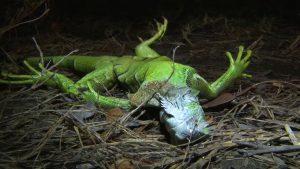 iguana florida