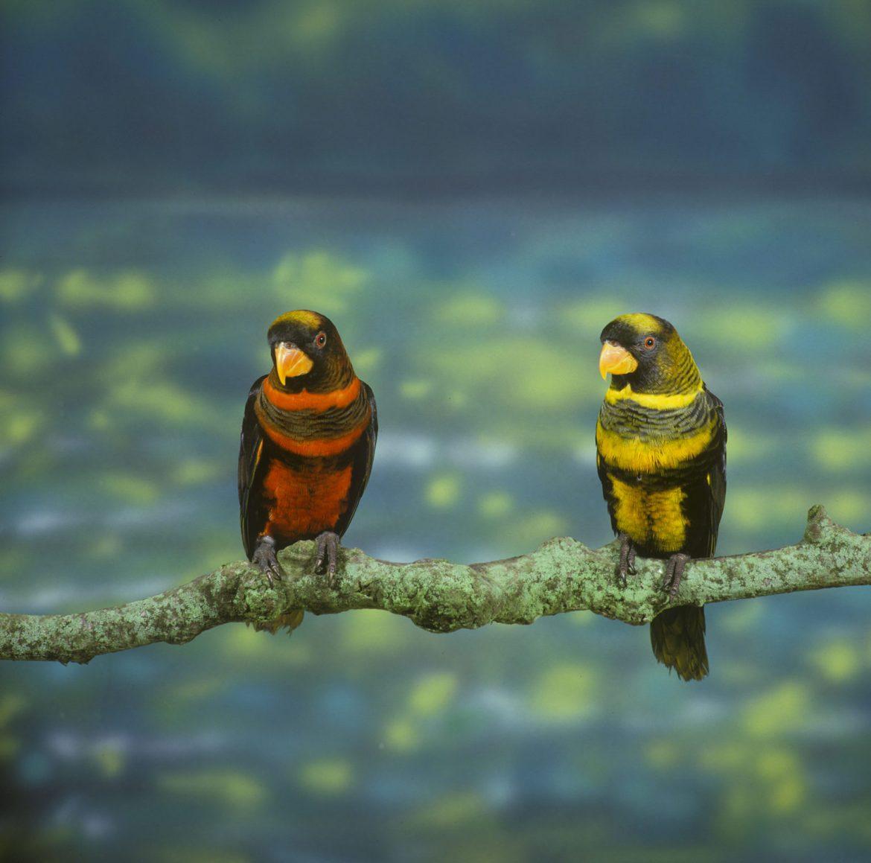 pappagallo lori scuro