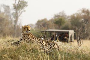 africa ghepardi