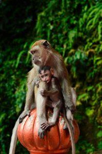 scimmia malesia