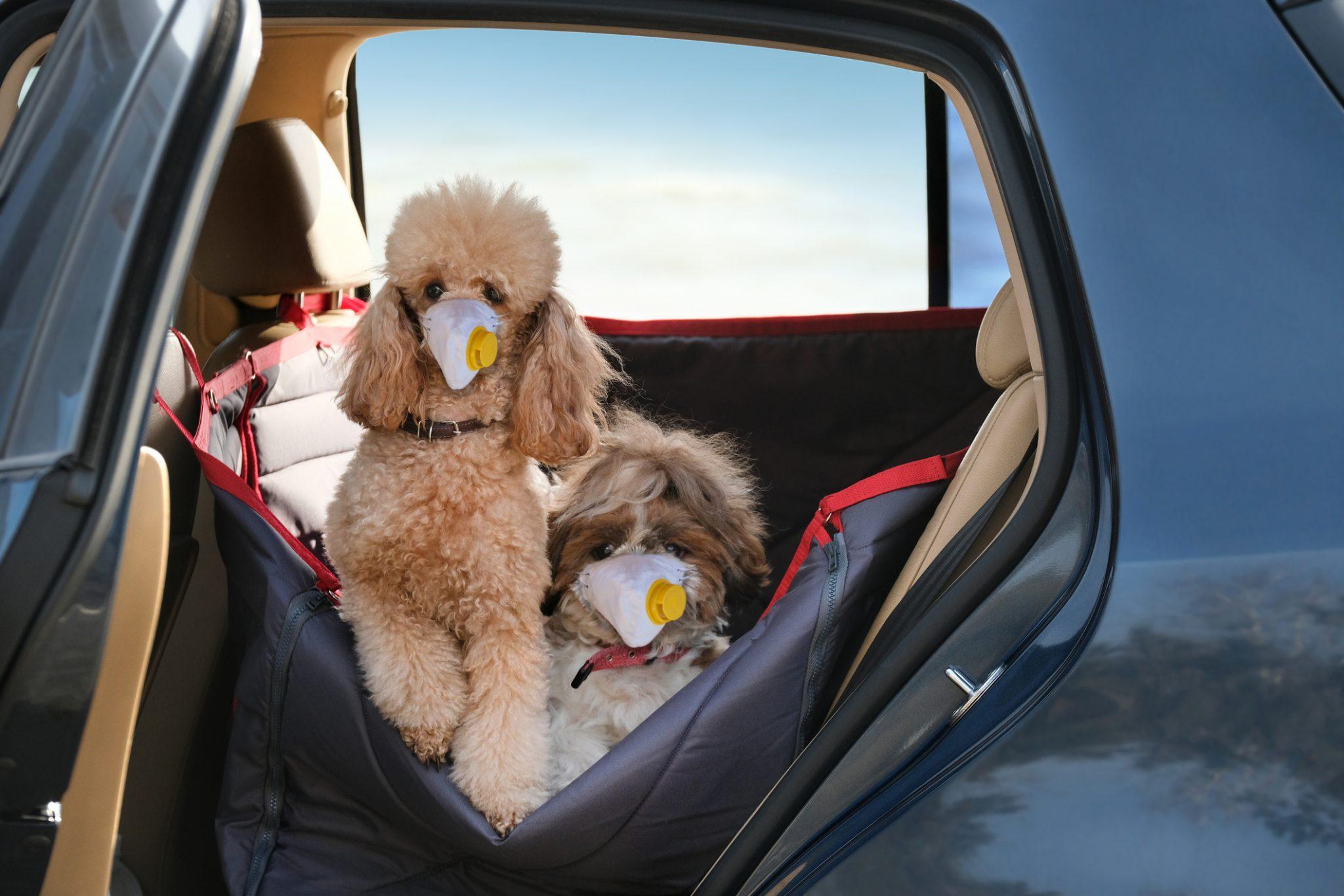 Coronavirus, scoperto il primo cane italiano positivo, è un barboncino