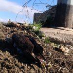 Animali, WWF: due aquile di Bonelli morte folgorate in Sicilia [FOTO E VIDEO]