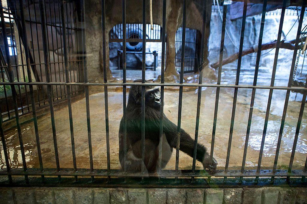 gorilla bua noi