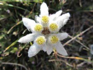 stella alpina appennino